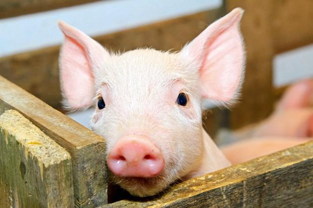 "Результат пошуку зображень за запитом ""свині"""