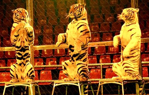 До Франківська їде цирк із дикими тваринами. Як на це реагуватиме місцева влада