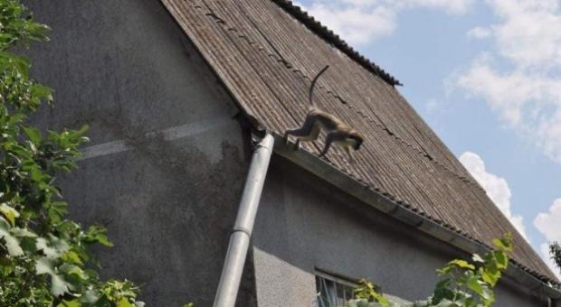 Мавпи оселилися на дачах під Одесою. Фото: соцмережі.