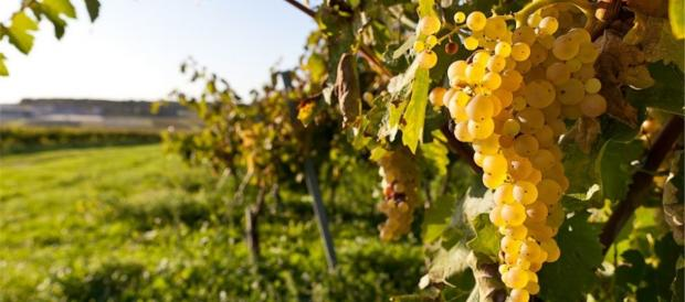 Росіяни знищують кримські виноградники. Фото: ТСН.