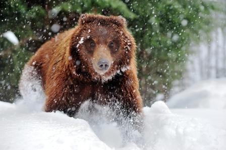 Бурий ведмідь у Карпатах напав на двох туристів (відео)